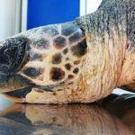 WWF salva una tartaruga che aveva ingerito plastica