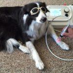 Boom delle cure laser per il benessere degli animali