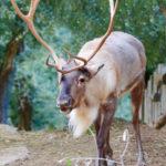 Anche le renne di foresta tornano in natura grazie ai parchi zoologici