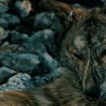Sempre più cani e meno lupi: una minaccia per la tutela della biodiversità
