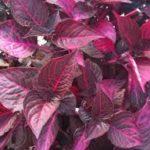 Le piante a foglie rosse sono più resistenti agli stress rispetto a quelle a foglie verdi