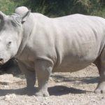 Creati con successo due embrioni di rinoceronte bianco settentrionale
