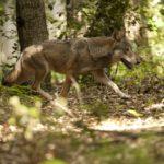 """Maxi Zoo & WWF: il lupo protagonista della raccolta fondi """"Insieme per gli animali"""""""