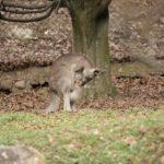 Parco Natura Viva: è nato un piccolo canguro