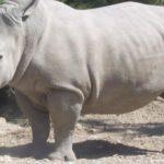 Il nuovo embrione appena creato alimenta la speranza per la sopravvivenza del rinoceronte bianco del nord