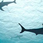 Squalo bianco: antico e prezioso abitante del Mar Mediterraneo ora è a rischio di estinzione