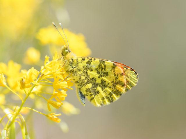 Studio su impronta genetica delle farfalle siciliane coordinato da ricercatori Unifi