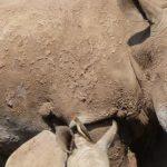 Il cammino dei mammiferi: a rischio la sopravvivenza di molte specie