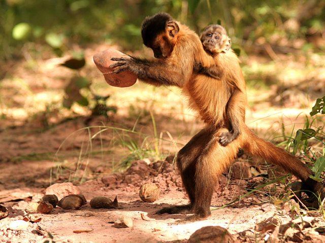 Campi coltivati invece che foreste: la cultura delle scimmie è a rischio