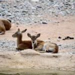Al Parco Faunistico Le Cornelle due nuovi fiocchi rosa e azzurro per la nascita di due piccoli di cobo lichi