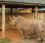 Il progetto di conservazione del rinoceronte bianco del Nord riprende con un nuovo successo nella raccolta di ovociti