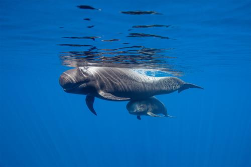 La costa ovest di Tenerife dichiarata sito Patrimonio per la Conservazione delle Balene