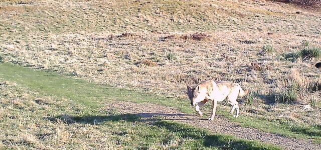 Lupo: l'ibridazione con il cane domestico mette a rischio la conservazione della specie