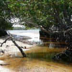 Foreste di mangrovie a rischio sopravvivenza per impoverimento biodiversità