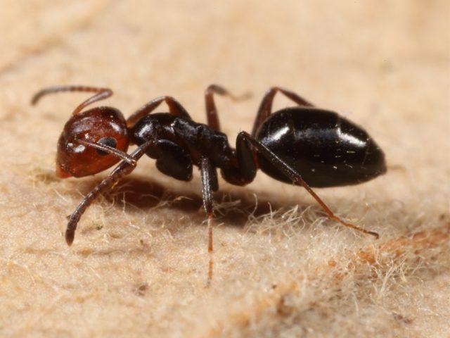 Scoperta una nuova specie di formiche in Italia