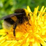 Insetti impollinatori: il 9% di api e farfalle a rischio estinzione