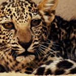 La nascita di un raro cucciolo di leopardo arabo segna un'importante pietra miliare nella salvaguardia di una specie gravemente minacciata