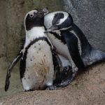 Anche i pinguini riconoscono i loro simili attraverso i sensi